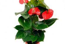 """L'Energia curativa dei fiori: """"Anthutium con l'Arcangelo Gabriele"""""""
