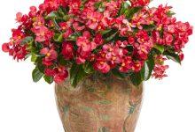 "L'Energia curativa dei fiori: ""Begonia con l'Arcangelo Raffaele"