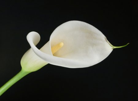 """L'Energia curativa dei fiori: """"Calla con l'Arcangelo Jophiel"""""""