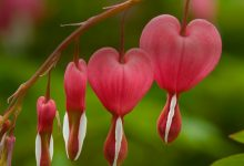 """L'Energia curativa dei fiori: """"Cuor di Maria con l'Arcangelo Jophiel"""""""