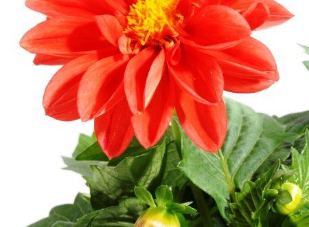 """L'Energia curativa dei fiori: """"Dalia con l'Arcangelo Zadkiel."""""""