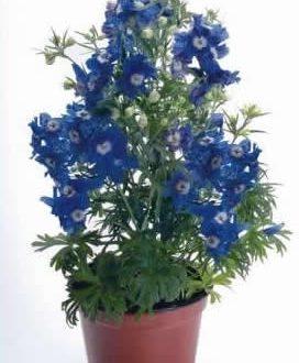 "L'Energia curativa dei fiori: ""Delphinium con l'Arcangelo Sandalphon."""