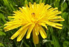 """L'Energia curativa dei fiori: """"Dente di leone con l'Arcangelo Raguel."""""""