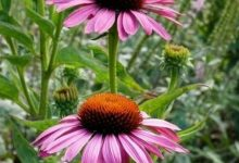 """L'Energia curativa dei fiori: """"Echinacea con l'Arcangelo Michele."""""""