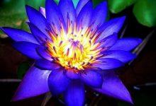 """L'Energia curativa dei fiori: """"Fior di loto con l'Arcangelo Metatron."""""""