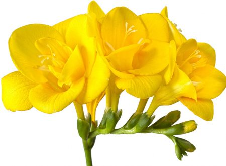 """L'Energia curativa dei fiori: """"Fresia con l'Arcangelo Raffaele.."""