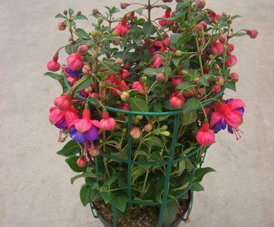 """L'Energia curativa dei fiori: """"Fucsia con l'Arcangelo Metatron"""""""
