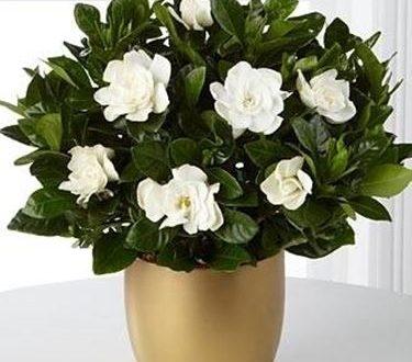 """L'Energia curativa dei fiori: """"Gardenia con l'Arcangelo Raffaele"""