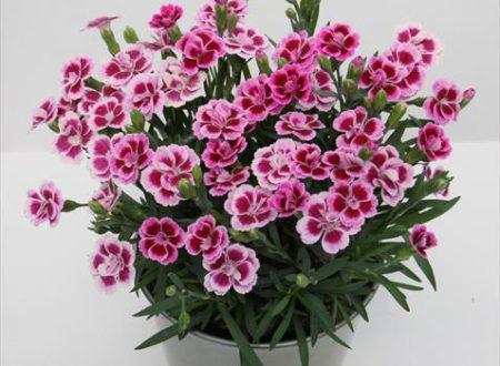 """L'Energia curativa dei fiori: """"Garofano con l'Arcangelo Haniel """""""