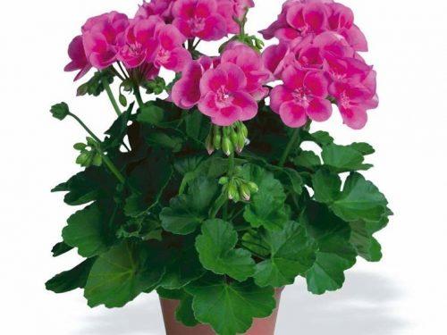 """L'Energia curativa dei fiori: """"Geranio con l'Arcangelo Raziel """""""