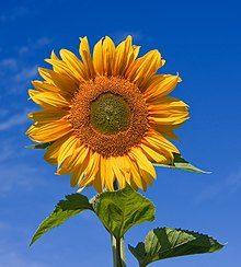 """L'Energia curativa dei fiori: """"Girasole con l'Arcangelo Michele"""""""