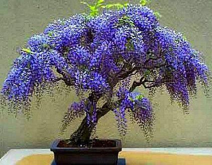 """L'Energia curativa dei fiori: """"Glicine con l'Arcangelo Michele"""""""