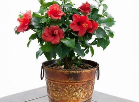 """L'Energia curativa dei fiori: """"Ibisco con l'Arcangelo Raziel"""""""