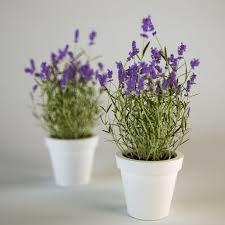 """L'Energia curativa dei fiori: """"Lavanda con l'Arcangelo Raziel."""""""