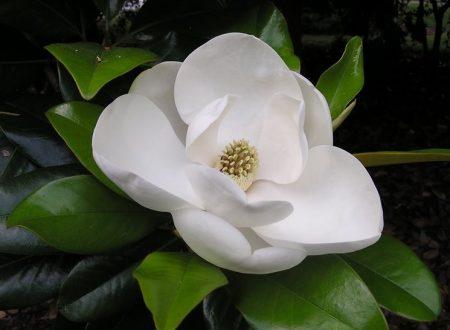 """L'Energia curativa dei fiori: """"Magnolia Bianca con l'Arcangelo Michele"""""""