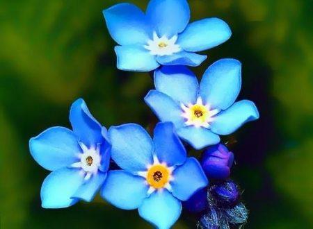 """L'Energia curativa dei fiori: """"Nontiscordardimé con l'Arcangelo Raziel"""""""