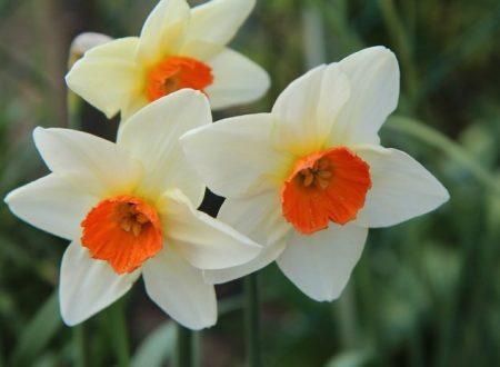 """L'Energia curativa dei fiori: """"Narciso con l'Arcangelo Michele"""""""