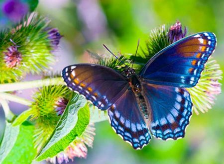 Qual è il significato delle farfalle che attraversano il nostro cammino?