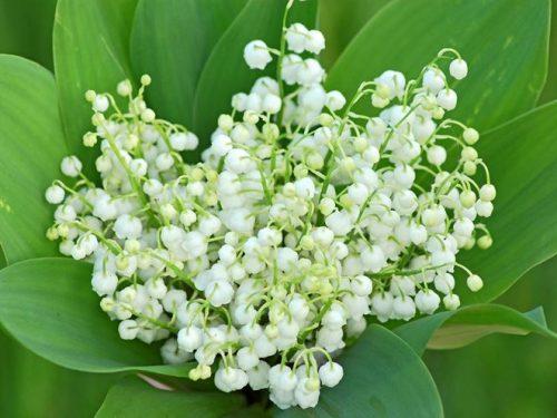 """L'Energia curativa dei fiori: """"Mughetto con l'Arcangelo Haniel"""""""