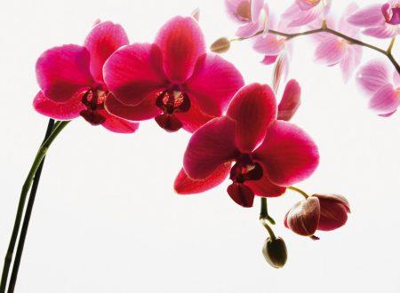 """L'Energia curativa dei fiori: """"Orchidea con l'Arcangelo Michele"""""""