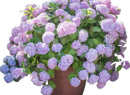 """L'Energia curativa dei fiori: """"Ortensia  con l'Arcangelo Sandalphon"""""""