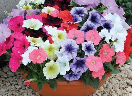 """L'Energia curativa dei fiori: """"Petunia con l'Arcangelo Ariel"""""""
